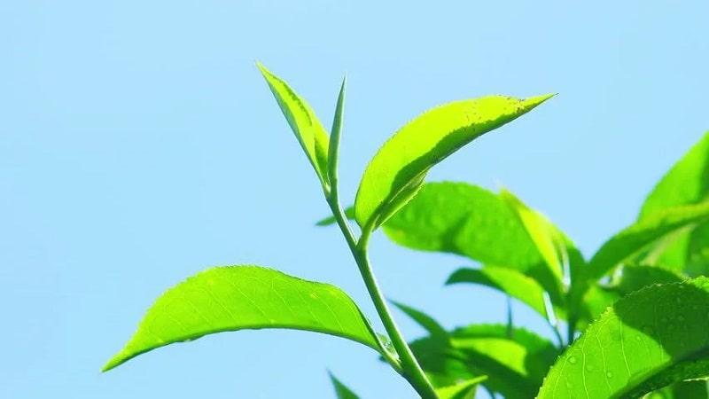 Zöld tea összetevő